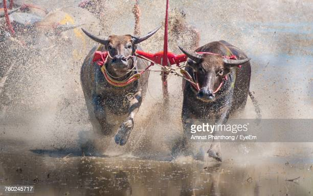 High Angle View Of Cows Running In Mud During Competition
