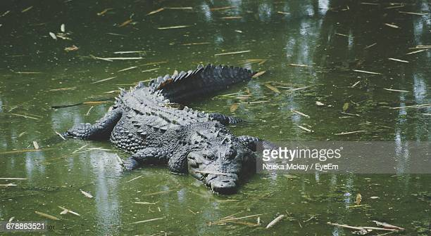 High Angle View Of Crocodile In Swamp