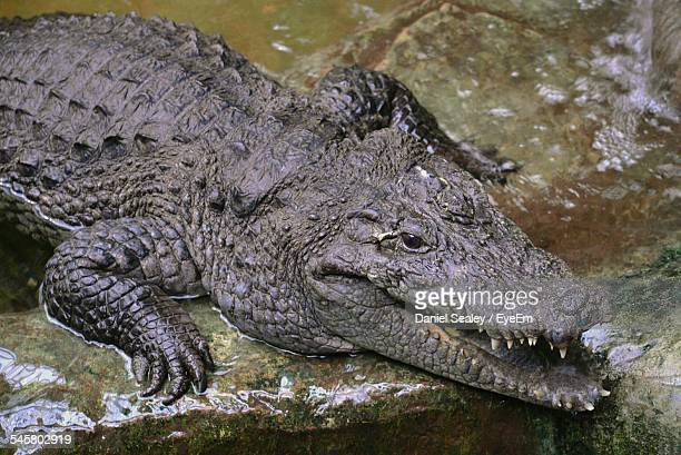 High Angle View Of Crocodile In Water