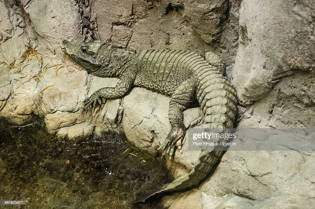 High Angle View Of Crocodile On Rock At Lakeshore : Stock Photo