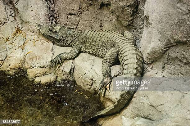 High Angle View Of Crocodile On Rock At Lakeshore