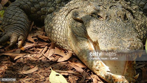 High Angle View Of Crocodile