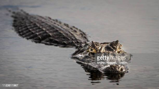 high angle view of crocodile swimming in lake - alligator stock pictures, royalty-free photos & images