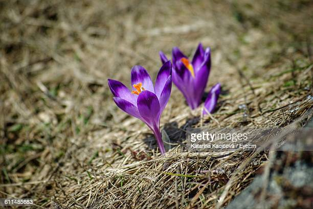 High Angle View Of Crocus Blooming On Field