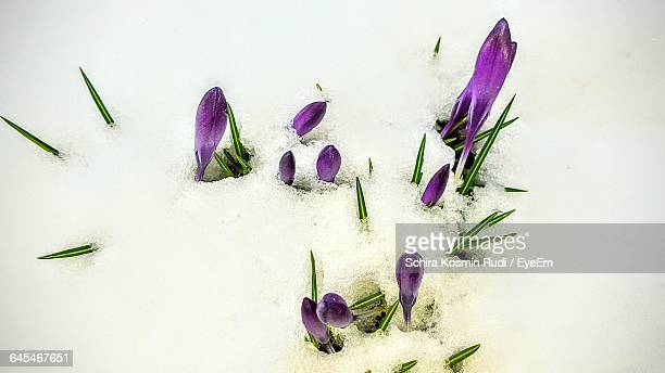 High Angle View Of Crocus Buds On Snow Covered Field