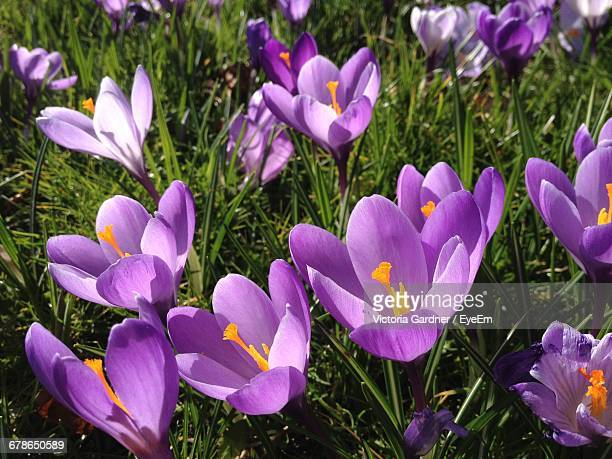 High Angle View Of Crocus Growing On Field