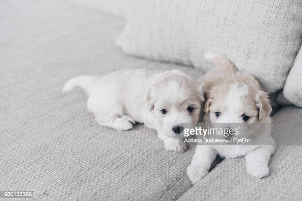 High Angle View Of Cute Puppies On Sofa