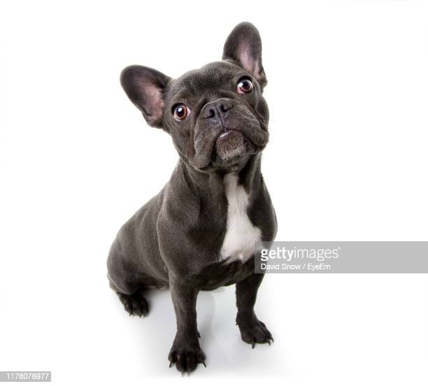 high angle view of cute puppy sitting against white background - cute stock pictures, royalty-free photos & images