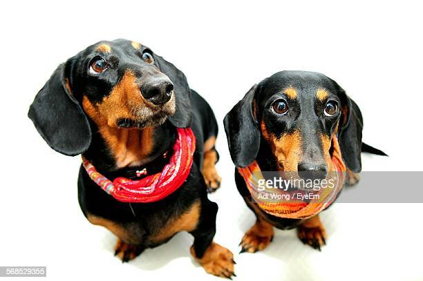 High Angle View Of Dachshunds Wearing Scarf Against White Background