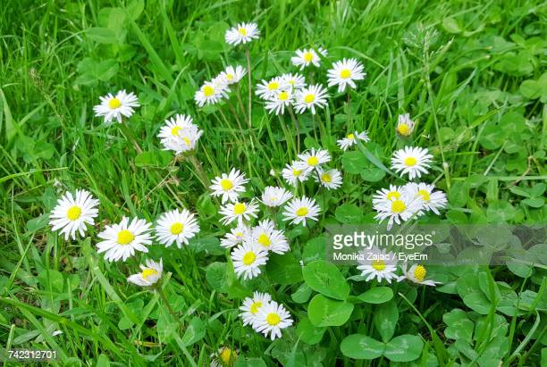 High Angle View Of Daisies Blooming In Field