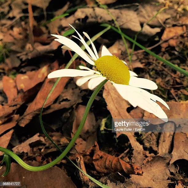 High Angle View Of Daisy Blooming On Field