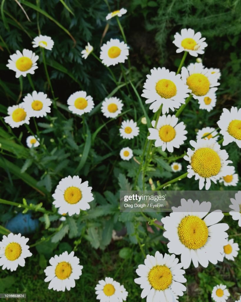 High Angle View Of Daisy Flowers Stock Photo Getty Images