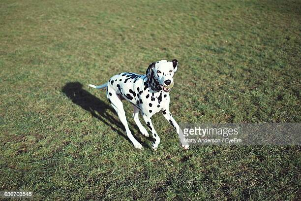 High Angle View Of Dalmatian Carrying Ball In Mouth While Running On Field