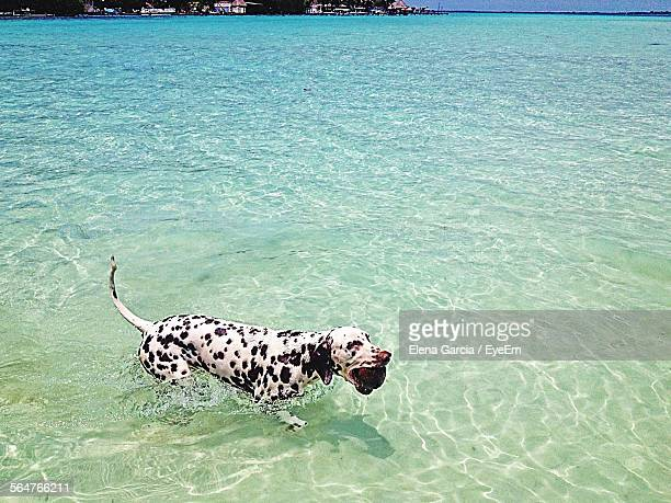 High Angle View Of Dalmatian Dog In Sea
