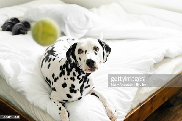 High Angle View Of Dalmatian Dog On Bed Looking At Tennis Ball In Mid-Air