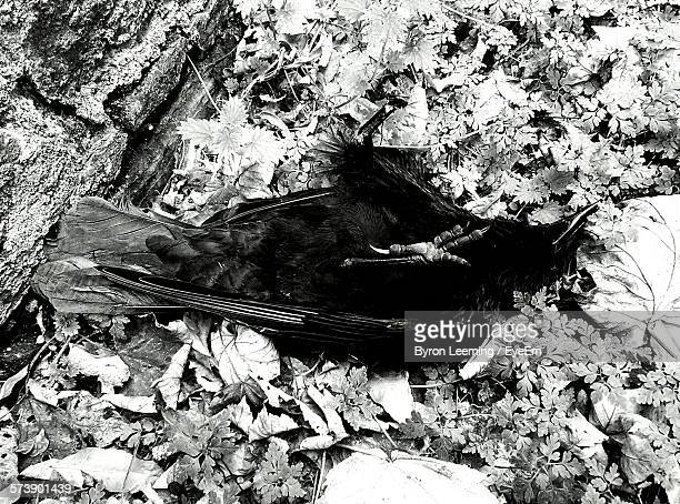 High Angle View Of Dead Crow On Field