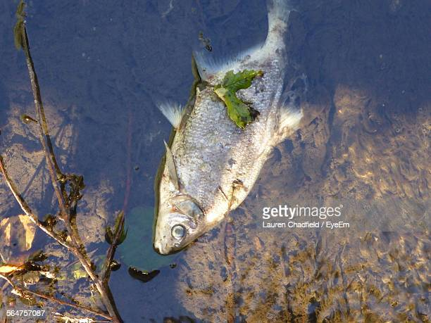 High Angle View Of Dead Fish In Water