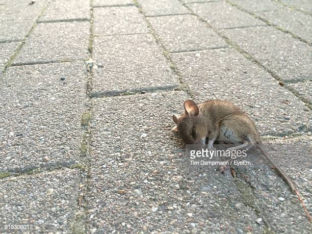High Angle View Of Dead Mouse On Footpath