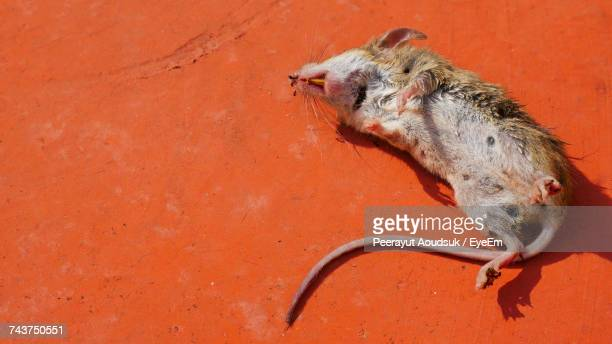 High Angle View Of Dead Rat Red Footpath