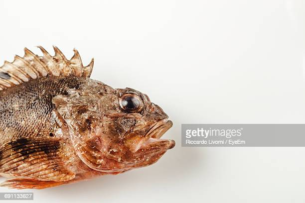 High Angle View Of Dead Scorpionfish On White Background