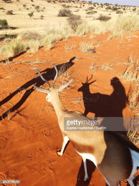 high angle view of deer standing on field - springbok deer stock photos and pictures