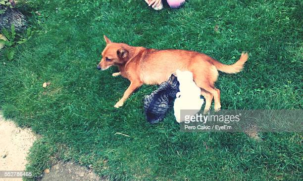 High Angle View Of Dog Feeding Kittens On Grassy Field