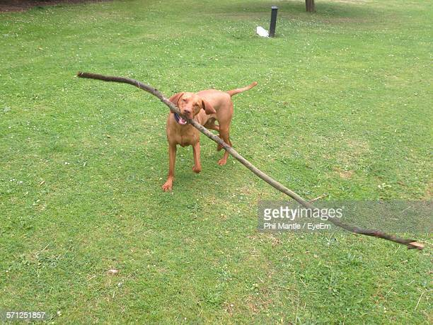 high angle view of dog holding branch in mouth on grassy field - bouche des animaux photos et images de collection