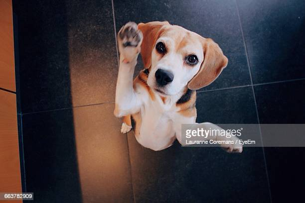 high angle view of dog looking at camera - stunt stock pictures, royalty-free photos & images