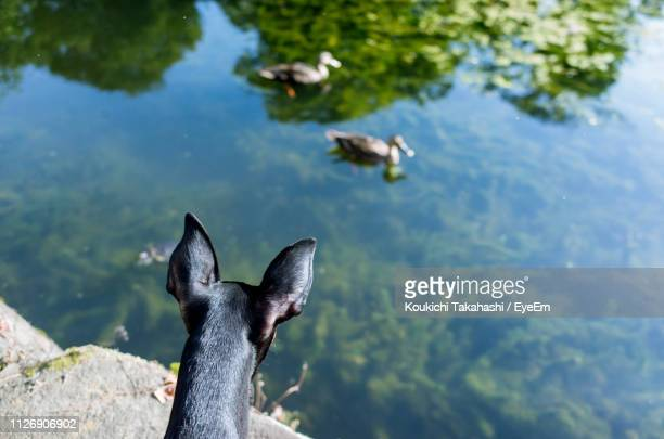 High Angle View Of Dog Looking At Ducks Swimming On Lake