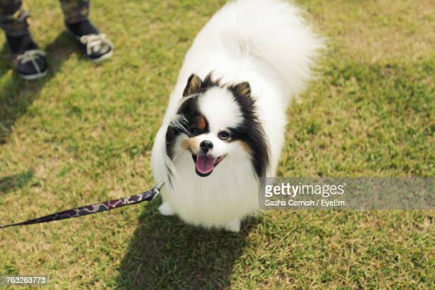 high angle view of dog on grass - japanese spitz stock pictures, royalty-free photos & images