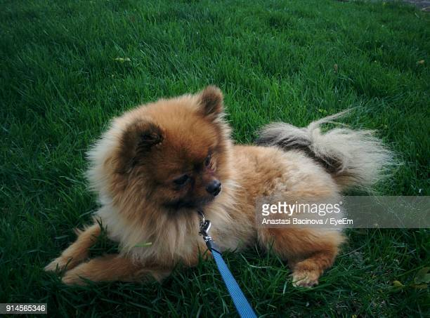 high angle view of dog relaxing on field - anastasi foto e immagini stock