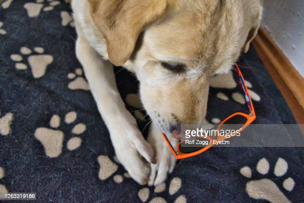 high angle view of dog resting on floor - sankt poelten stock pictures, royalty-free photos & images
