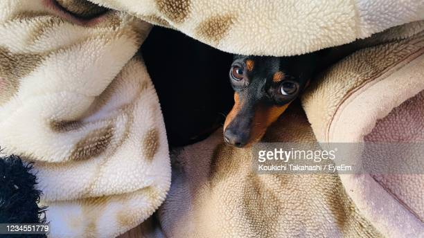 high angle view of dog resting - koukichi stock pictures, royalty-free photos & images