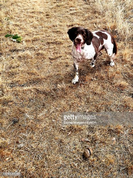 high angle view of dog running on field - newport wales photos stock pictures, royalty-free photos & images