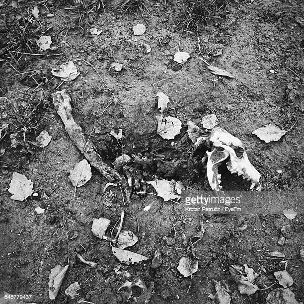 high angle view of dog skeleton on field - dead dog stock pictures, royalty-free photos & images