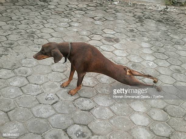 High Angle View Of Dog Stretching On Footpath