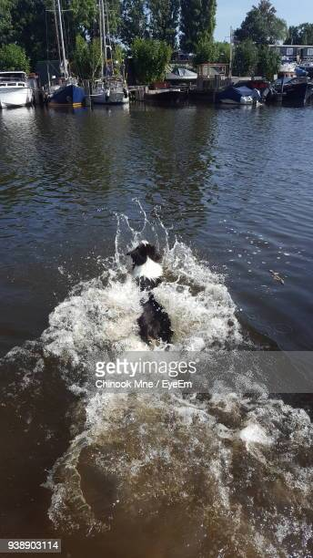high angle view of dog swimming in river - chinook dog stock photos and pictures