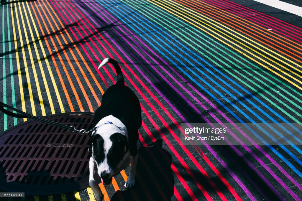High Angle View Of Dog Walking On Colorful Striped Street : Stock Photo