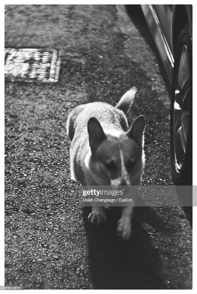 High Angle View Of Dog Walking On Street : Stock-Foto