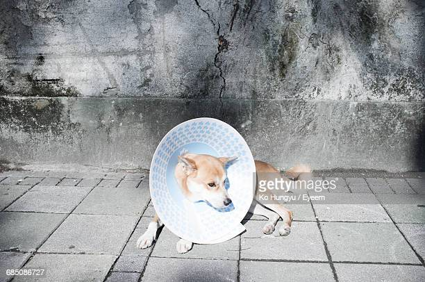 high angle view of dog wearing protective collar lying on footpath against wall - protective collar stock pictures, royalty-free photos & images