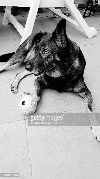 High Angle View Of Dog With Toy On Footpath