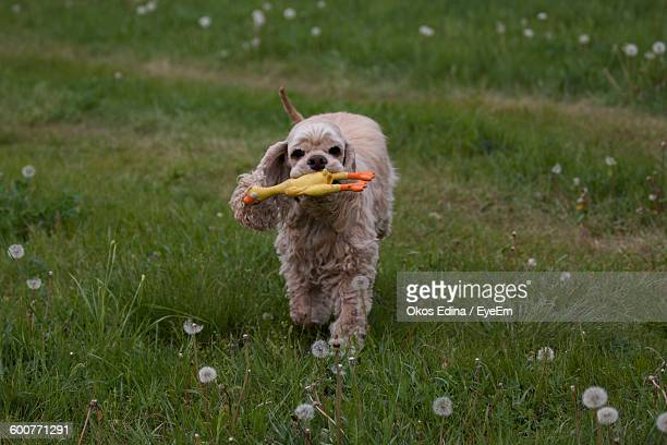 High Angle View Of Dog With Toy On Grassy Field