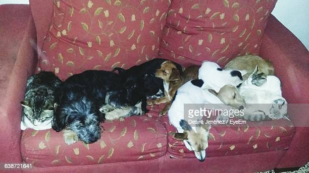 High Angle View Of Dogs And Cats Resting On Sofa At Home