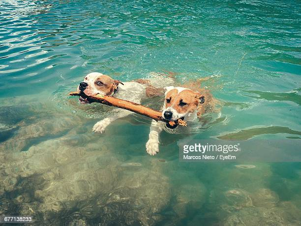 high angle view of dogs carrying stick in mouth while swimming at lake - um animal - fotografias e filmes do acervo