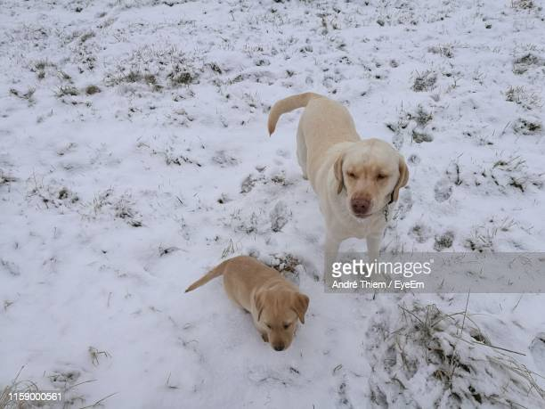 high angle view of dogs on snow covered land - thiem stock pictures, royalty-free photos & images