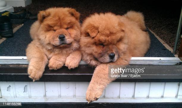 high angle view of dogs relaxing on window frame - chow dog stock pictures, royalty-free photos & images