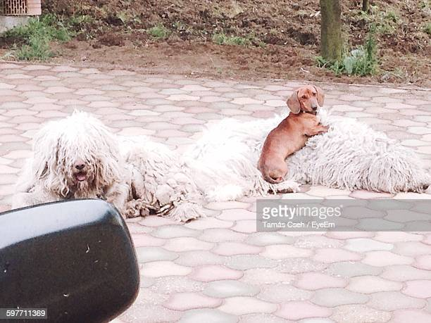 High Angle View Of Dogs Resting On Cobblestone Street