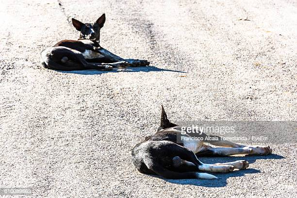 High Angle View Of Dogs Resting On Street
