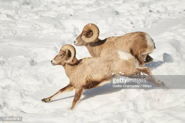 high angle view of dogs running on snow covered field,parc national de yellowstone,united states,usa - parc national de yellowstone stock pictures, royalty-free photos & images