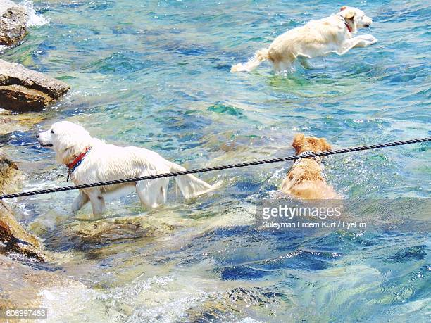 High Angle View Of Dogs Swimming In Sea